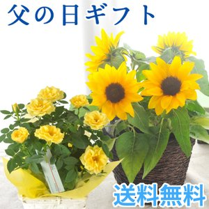 あすつく \遅れてごめんね/ 父の日 2021 花 プレゼント 選べる花鉢 ひまわり or 黄色バラ 鉢植え ギフト 父の日シンボルフラワー FKPP|fkjiyugaoka