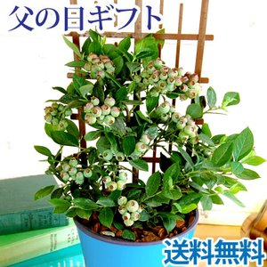あすつく \遅れてごめんね/ 父の日 2021 プレゼント ブルーベリー鉢植え 5号鉢 実付き 育てて楽しい 鉢植え ギフト FKPP|fkjiyugaoka