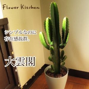 大雲閣 7号鉢 (大)/ユーフォルビア 観葉植物/多肉植物 送料無料