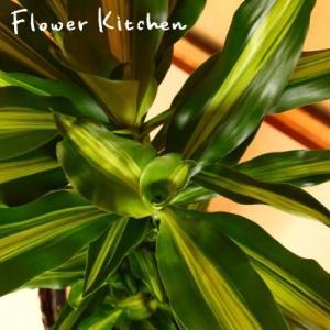 ドラセナ 観葉植物 幸福の木 ジェレ の鉢植え 7号鉢 即日発送のグリーンギフト|fkjiyugaoka