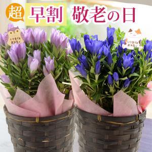 遅れてごめんね 2018 敬老の日 プレゼント 花鉢ギフト 選べる花鉢 りんどう ケイトウ カランコエ 秋のお花 FKKE