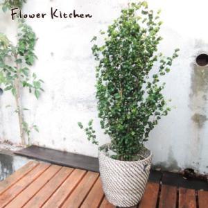 ベンジャミンバロック7号+IKEA北欧カゴ 観葉植物 送料無料 グリーン 即日発送 fkjiyugaoka