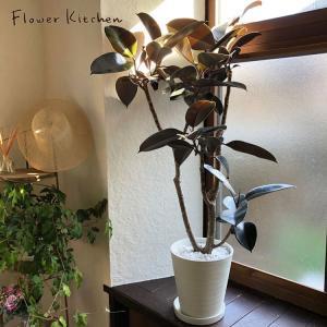 観葉植物 フィカス バーガンディ 8号鉢 ゴムの木 fkjiyugaoka