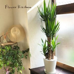 観葉植物 ユッカ 8号鉢 青年の木 fkjiyugaoka