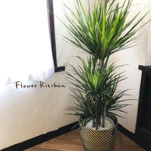 観葉植物 ドラセナ コンシンネ 8号鉢 IKEAカゴセット fkjiyugaoka