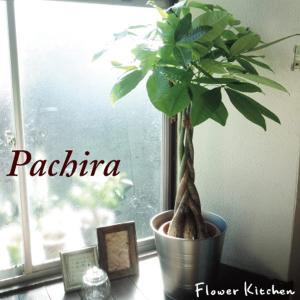 観葉植物 パキラ の鉢植え7号鉢+イケア鉢カバー付き  ソッケル シルバー|fkjiyugaoka
