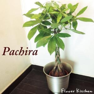 観葉植物 パキラ の鉢植え7号鉢+イケア鉢カバー付き  ハッセルノート シルバー|fkjiyugaoka