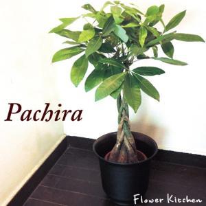 観葉植物 パキラ の鉢植え7号鉢+イケア鉢カバー付き  ハッセルノート ブラック|fkjiyugaoka