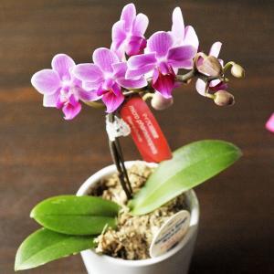 胡蝶蘭 産地直送の花ギフト マイクロ胡蝶蘭 ギフトボックス入り 椎名洋ラン園こだわりの高級胡蝶蘭  育てやすい 花鉢|fkjiyugaoka