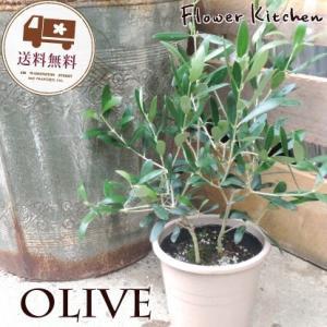 オリーブの木 観葉植物 ミッション5号・セラート鉢 即日発送 グリーンギフト