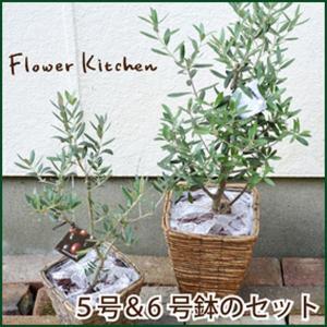 観葉植物 オリーブの木 5号鉢と6号鉢のセット fkjiyugaoka