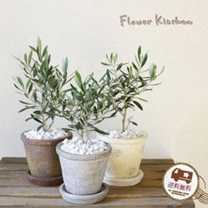 観葉植物 オリーブの木 アガベポットの鉢植え|fkjiyugaoka