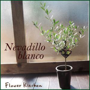 観葉植物 オリーブの木 3号 ネバディロブランコ品種|fkjiyugaoka