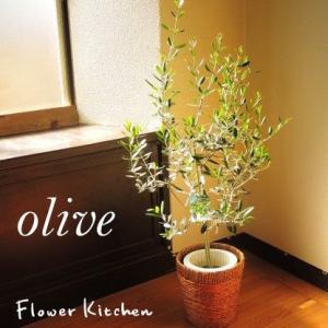 観葉植物 オリーブの木 7号 やまた園 即日発送のグリーンギフト
