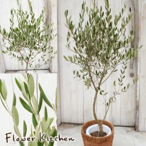 観葉植物 オリーブの木 7号スタンダードタイプ|fkjiyugaoka