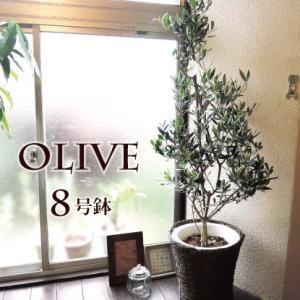 貴宝園 オリーブ8号 選べる品種 カゴ付き 観葉 fkjiyugaoka