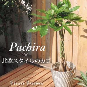 パキラ7号+北欧スタイルのカゴ付き IKEAカゴホワイトグレー編みカゴ 即日発送のグリーンギフト|fkjiyugaoka