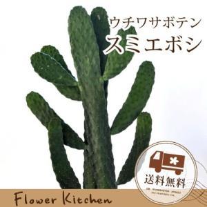 ウチワサボテン 観葉植物 スミエボシ サボテン かご付き 即日発送 グリーンギフト fkjiyugaoka