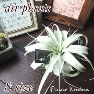 エアプランツ キセログラフィカ Sサイズ チランジア  観葉植物 fkjiyugaoka