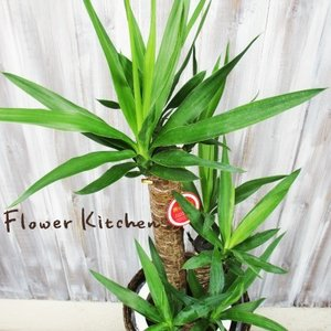 ユッカ 青年の樹 観葉植物 ユッカ の鉢植えM 7号鉢 即日発送のグリーンギフト|fkjiyugaoka