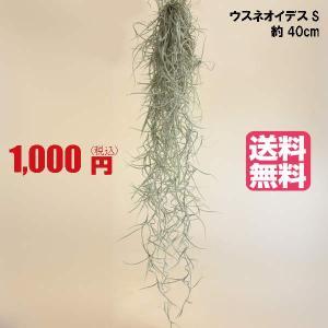 【送料無料!】1000円ぽっきり!エアプランツ ウスネオイデス(Sサイズ/40cm)※メール便のため日時指定はできません。2個まで同梱可能です。