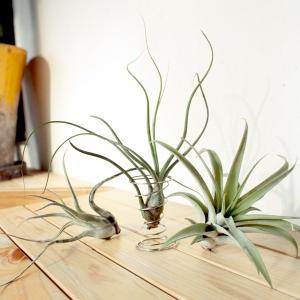 エアプランツ アソート3個セット(Mサイズ)/ 観葉植物 チランジア エアープランツの画像