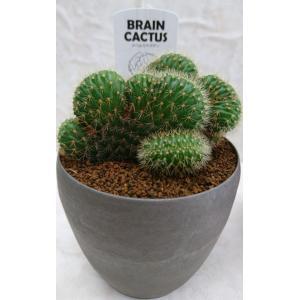サボテン アケルシア綴化 頭の良くなるサボテン|flower-8729