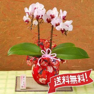 ミニ胡蝶蘭(コチョウラン) リトルジェムストライプ|flower-c2