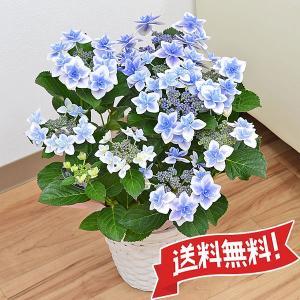 あじさい鉢植え こんぺいとうブルー 5号|flower-c2