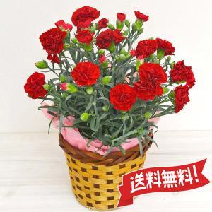 カーネーション鉢植え カゴ(鉢カバー)付き 5号|flower-c2