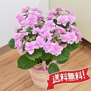 あじさい鉢植え こんぺいとうピンク 5号|flower-c2