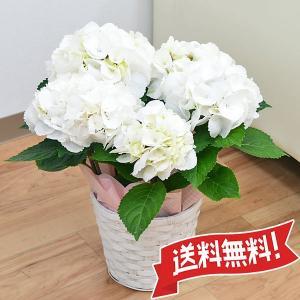 あじさい鉢植え ゼブラ 5号 カゴ付き|flower-c2