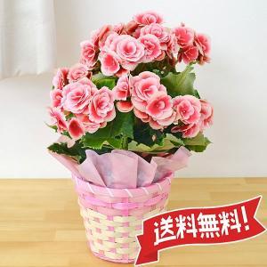 リーガースベゴニア ボリアス(複色)鉢植え 5号 カゴ付き|flower-c2