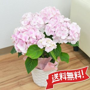 母の日ギフト あじさい鉢植え ゼブラフラミンゴ 5号 カゴ付き|flower-c2