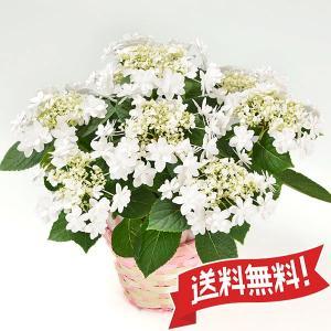 母の日ギフト あじさい鉢植え ウェディングドレス 5号 カゴ付き|flower-c2