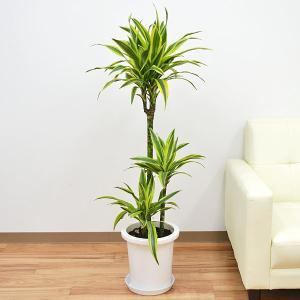 送料無料! 【商品サイズ】 商品全体の高さ:約110cm〜130cm前後 8号サイズ  ※植物につき...