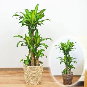 観葉植物 幸福の木(ドラセナ・マッサンゲアナ) おしゃれ 大型 お祝い 8号 鉢カバー付き