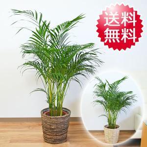 観葉植物 アレカヤシ おしゃれ 大型 お祝い 8号 鉢カバー付き