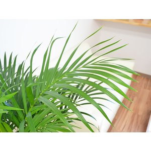 観葉植物 アレカヤシ おしゃれ 大型 お祝い ...の詳細画像1