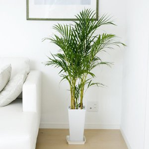 観葉植物 アレカヤシ ロングスクエア陶器鉢植え おしゃれ 大型 お祝い 7号 ホワイト ブラック