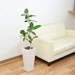 観葉植物 フィカス・ベンガレンシス(ベンガルゴム) ロングスクエア陶器鉢植え