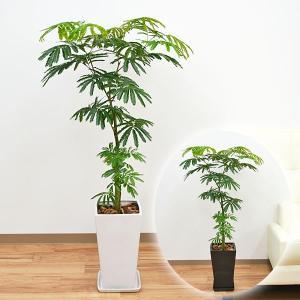 観葉植物 エバーフレッシュ(ネムノキ) スクエア陶器鉢植え 8号サイズ