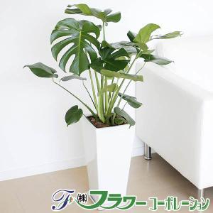 観葉植物 モンステラ 8号 おしゃれ お祝い 大型 陶器鉢植え