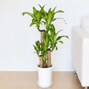 観葉植物 幸福の木(ドラセナ・マッサンゲアナ) 7号サイズ