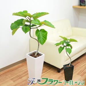 観葉植物 フィカス・ウンベラータ(ゴム) 曲がり仕立て ロングスクエア陶器鉢植え 7号サイズ