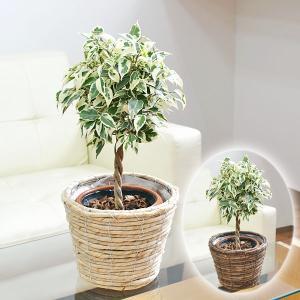 観葉植物 ベンジャミン・スターライト 鉢カバー付き 5号