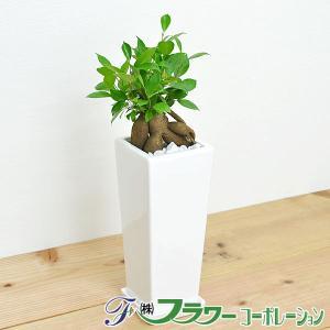 観葉植物 ガジュマル スクエア陶器鉢植えの商品画像