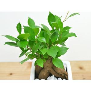 観葉植物 ガジュマル スクエア陶器鉢植えの詳細画像1