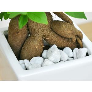 観葉植物 ガジュマル スクエア陶器鉢植えの詳細画像2