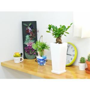 観葉植物 ガジュマル スクエア陶器鉢植えの詳細画像4